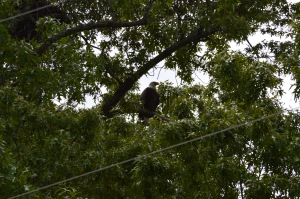 Nesting Bald Eagle in Mountain Home, Arkansas