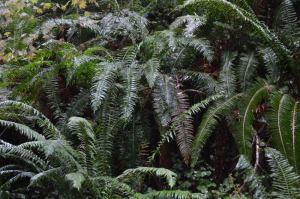 Glistening Ferns