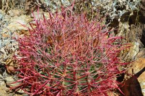 Deep Reds of a Barrel Cactus, Joshua Tree National Park
